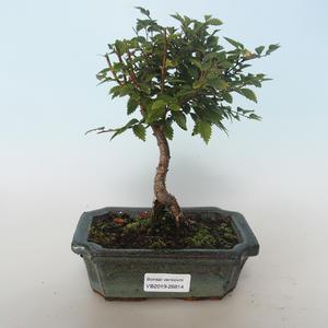 Outdoor bonsai-Ulmus parvifolia-Wiąz mały liść 408-VB2019-26814