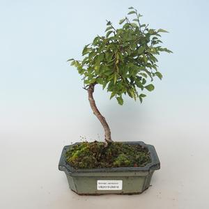 Outdoor bonsai-Ulmus parvifolia-Wiąz mały liść 408-VB2019-26816