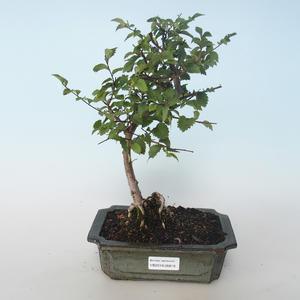 Outdoor bonsai-Ulmus parvifolia-Wiąz mały liść 408-VB2019-26819