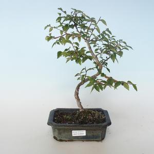 Outdoor bonsai-Ulmus parvifolia-Wiąz mały liść 408-VB2019-26820