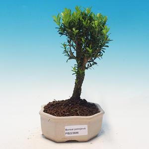 bonsai Room - Buxus harlandii