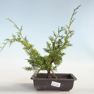 Outdoor bonsai - Juniperus chinensis Itoigava-chiński jałowiec VB2019-26896