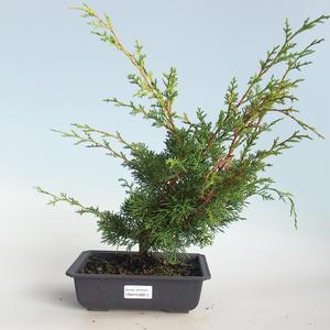 Outdoor bonsai - Juniperus chinensis Itoigava-chiński jałowiec VB2019-26913