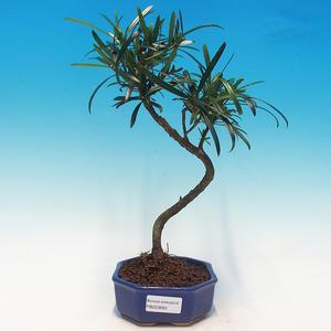 Pokój Bonsai - Podocarpus - Stone Thousand