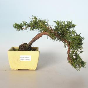 Outdoor bonsai - Juniperus chinensis - chiński jałowiec VB-26930