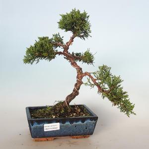 Outdoor bonsai - Juniperus chinensis - chiński jałowiec VB-26942