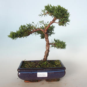 Outdoor bonsai - Juniperus chinensis - chiński jałowiec VB-26944