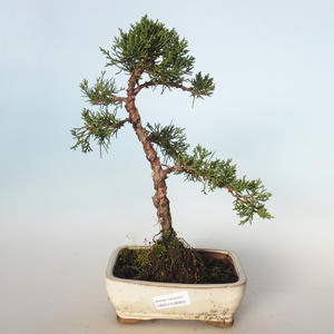 Outdoor bonsai - Juniperus chinensis - chiński jałowiec VB-26950