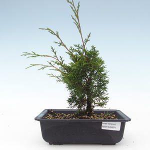 Outdoor bonsai - Juniperus chinensis Itoigawa-chiński jałowiec VB2019-26974