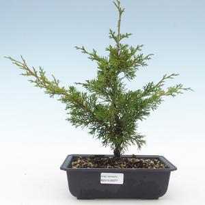 Outdoor bonsai - Juniperus chinensis Itoigawa-chiński jałowiec VB2019-26977
