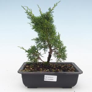 Outdoor bonsai - Juniperus chinensis Itoigawa-chiński jałowiec VB2019-26980