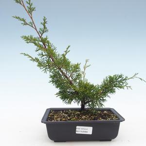 Outdoor bonsai - Juniperus chinensis Itoigawa-chiński jałowiec VB2019-26984