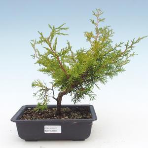 Outdoor bonsai - Juniperus chinensis Itoigawa-chiński jałowiec VB2019-26994