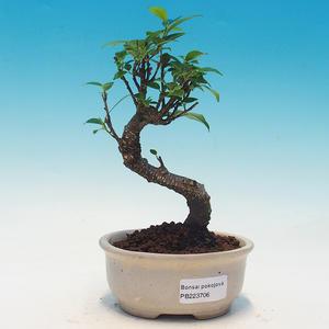 Pokój bonsai - Ficus retusa - ficus malolistý