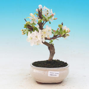 Bonsai na świeżym powietrzu - Malus halliana - Malpopled apple tree