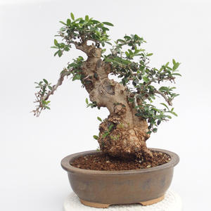bonsai Room - Olea europaea sylvestris -Oliva Europejski drobnolistá