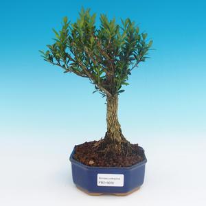 Pokój bonsai - Buxus harlandii - korek buxus