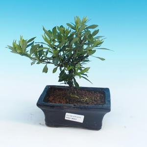Pokój bonsai - Gardenia jasminoides-Gardenie