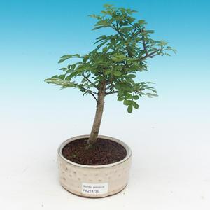 Bonsai pokojowe - Fraxinus uhdeii - popiół pokojowy