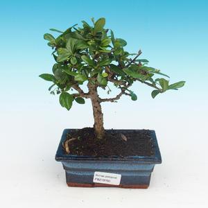 bonsai Room - Carmona macrophylla - Tea Fuki