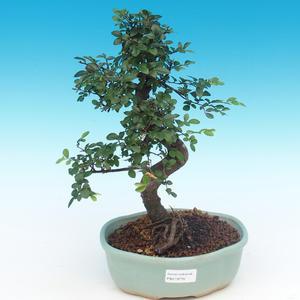Kryte bonsai - Ulmus parvifolia - Mały wiąz