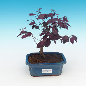 Pokój bonsai - Loropelatum chinensis