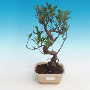 Pokój bonsai - kimono Ficus - mały ficus
