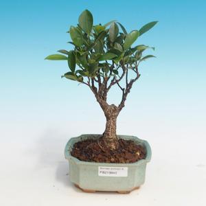 Pokój bonsai - Ficus retusa - mały ficus
