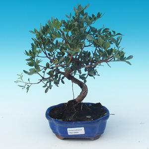 Pokojowe pistacje bonsai