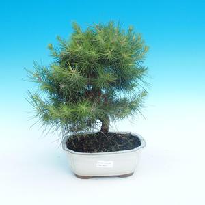 Kryty bonsai-Pinus halepensis