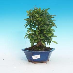 Pokój bonsai-granat PUNICA-granat