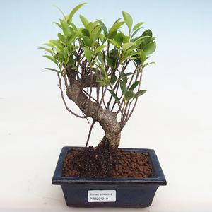 Kryty bonsai - kimono Ficus - ficus mały liść PB2191219
