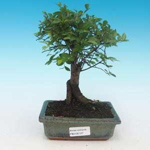 Pokój bonsai - Ulmus Parvifolia-Malolistý wiąz