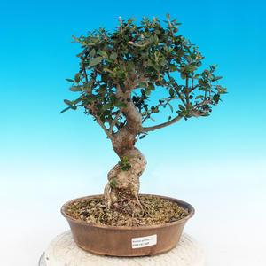 Kryte bonsai - Olea europaea sylvestris -Oliva european tiny
