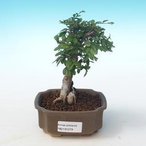 Kryty bonsai-Ulmus Parvifolia-Mały wiąz liściowy PB2191279