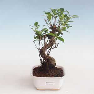 Kryty bonsai - kimono Ficus - figowiec mały liść PB2191313