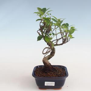 Kryty bonsai - kimono Ficus - figowiec mały liść PB2191314