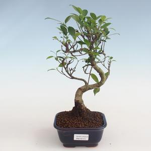 Kryty bonsai - kimono Ficus - ficus mały liść PB2191315