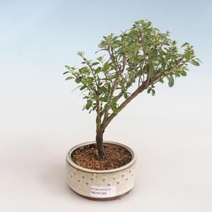 Kryty bonsai - Serissa foetida Variegata - Drzewo Tysiąca Gwiazd PB2191326