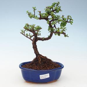 Kryty bonsai - Portulakaria Afra - Tlustice 414-PB2191351