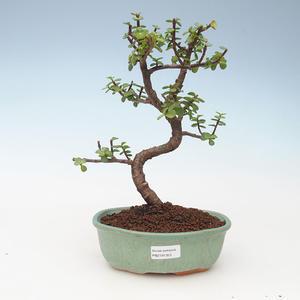 Kryty bonsai - Portulakaria Afra - Tlustice 414-PB2191353