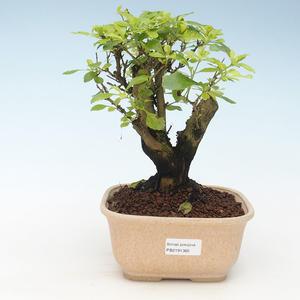 Kryty bonsai - Duranta erecta Aurea 414-PB2191365