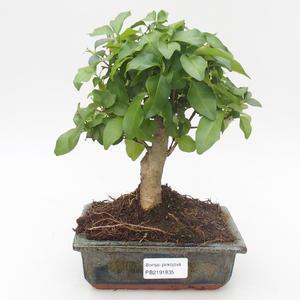 Kryty bonsai - Duranta erecta Aurea 414-PB2191366