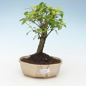 Kryty bonsai - Duranta erecta Aurea 414-PB2191368