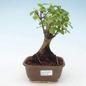 Kryty bonsai - Duranta erecta Aurea 414-PB2191371