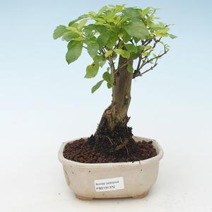 Kryty bonsai - Duranta erecta Aurea 414-PB2191372