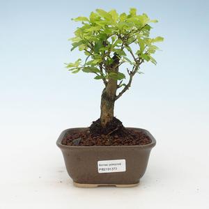 Kryty bonsai - Duranta erecta Aurea 414-PB2191373