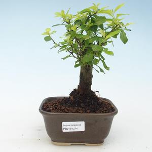 Kryty bonsai - Duranta erecta Aurea 414-PB2191374