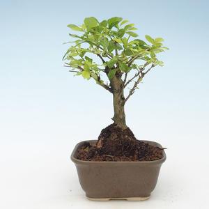 Kryty bonsai - Duranta erecta Aurea 414-PB2191377