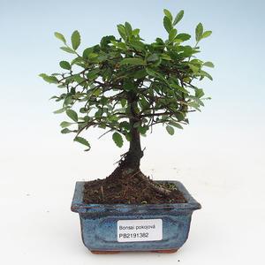 Kryty bonsai - Ulmus Parvifolia-wiąz mały liść 414-PB2191382
